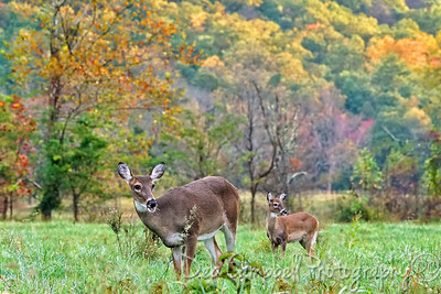 Doe and Fawn in fall color