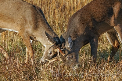 Little Buck Fight