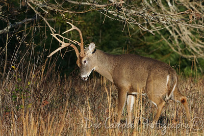 Scent Marking Buck