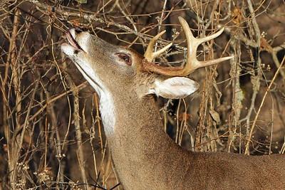 Buck on Licking branch 2018
