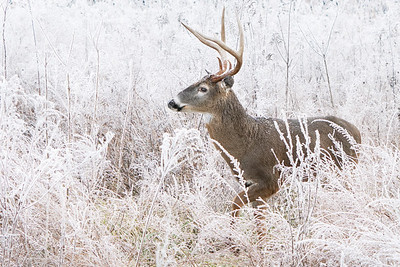 Buck in thick frost