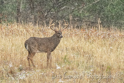 Buck in Snow Shower