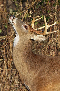 Buck Scent Marking 2018