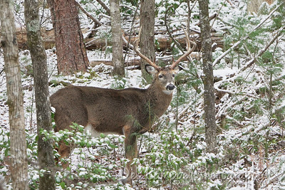 White Tailed Buck in Snow