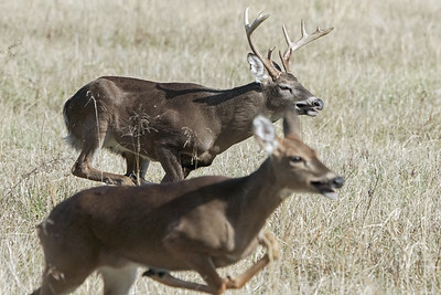 Chasing a doe