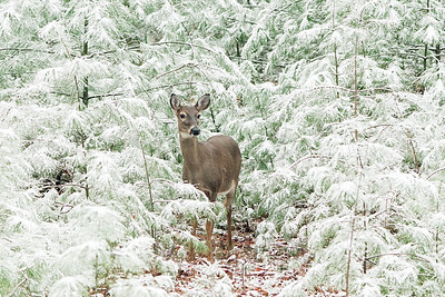 Doe in the snowy pines