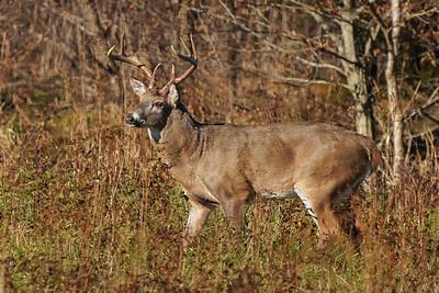 White-tailed Deer Rut 2020