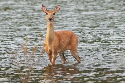 Doe in the lake