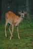 White-tailed deer, Shenandoah National Park