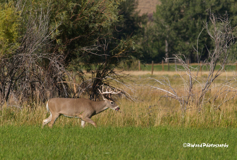 OV 08SP6532  6x6 Buck