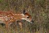 White-tailed fawn, Shenandoah National Park