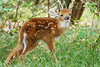 White-tailed fawn, Shenandoah National Park