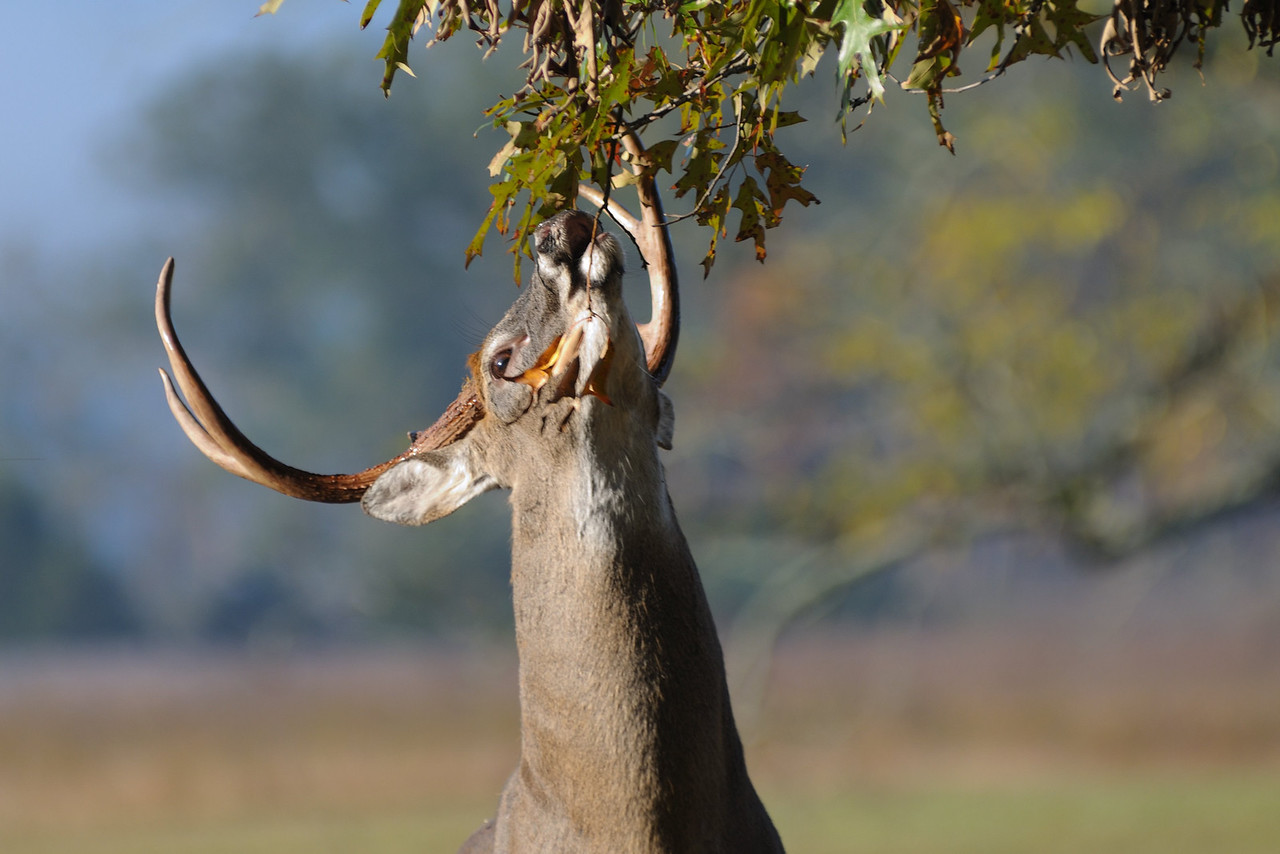 """This buck crossed an open field, and make a scrape under a red oak where I was set up.  This is the classic """"licking branch"""" found above scrapes."""