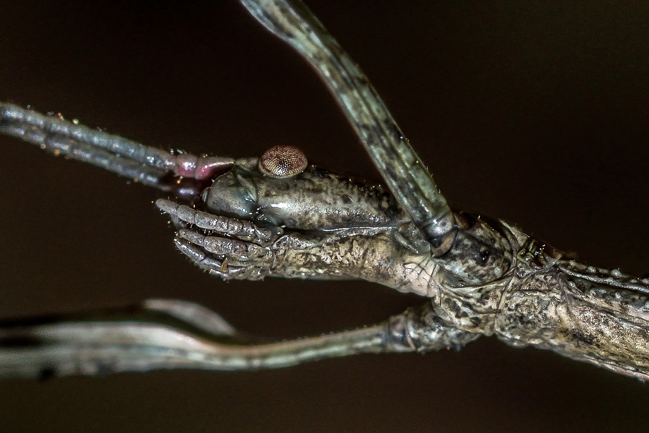 Common stick insect (Clitarchus hookeri). Opoho, Dunedin. Detail of head.