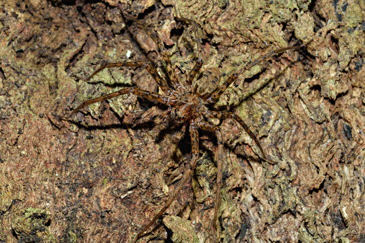 Scuttling spider (Cycloctenus fugax), well camouflaged on a tree trunk. Opoho, Dunedin.