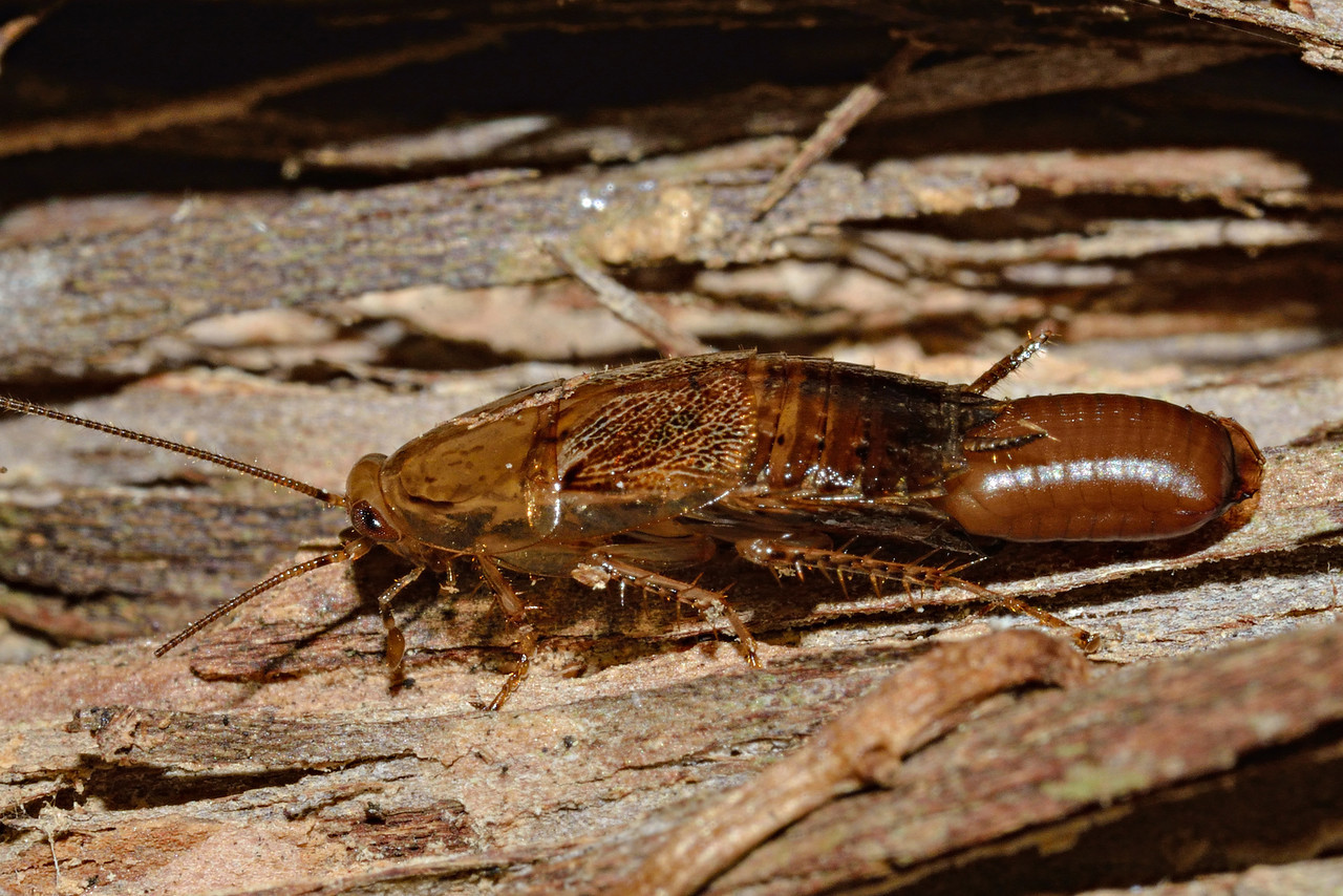 Winged bush cockroach (Parellipsidion pachycercum) with egg case. Opoho, Dunedin.