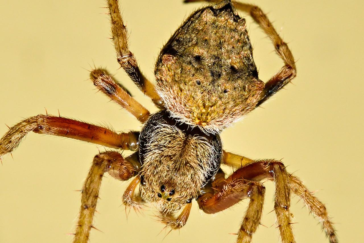 Eriophora pustulosa, an Australian orbweb spider. Its size is less than 10mm. Opoho, Dunedin.