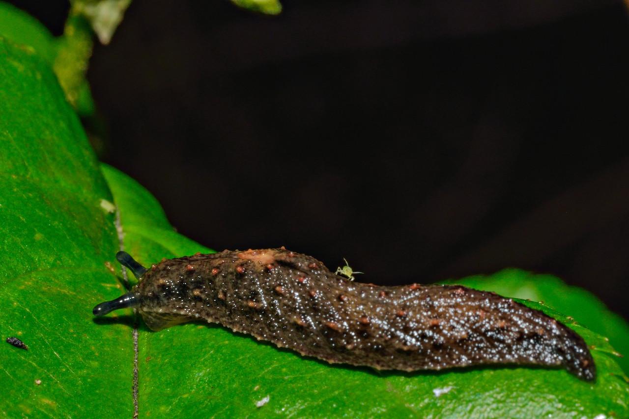 Leaf-veined slug (Pseudaneitea spp.?), with aphid back-rider. Opoho, Dunedin.