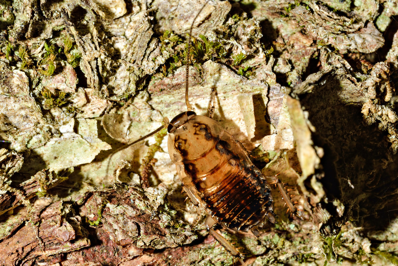 Wingless native bush cockroach (Celatoblatta vulgaris). Caples River, Mount Aspiring National Park.