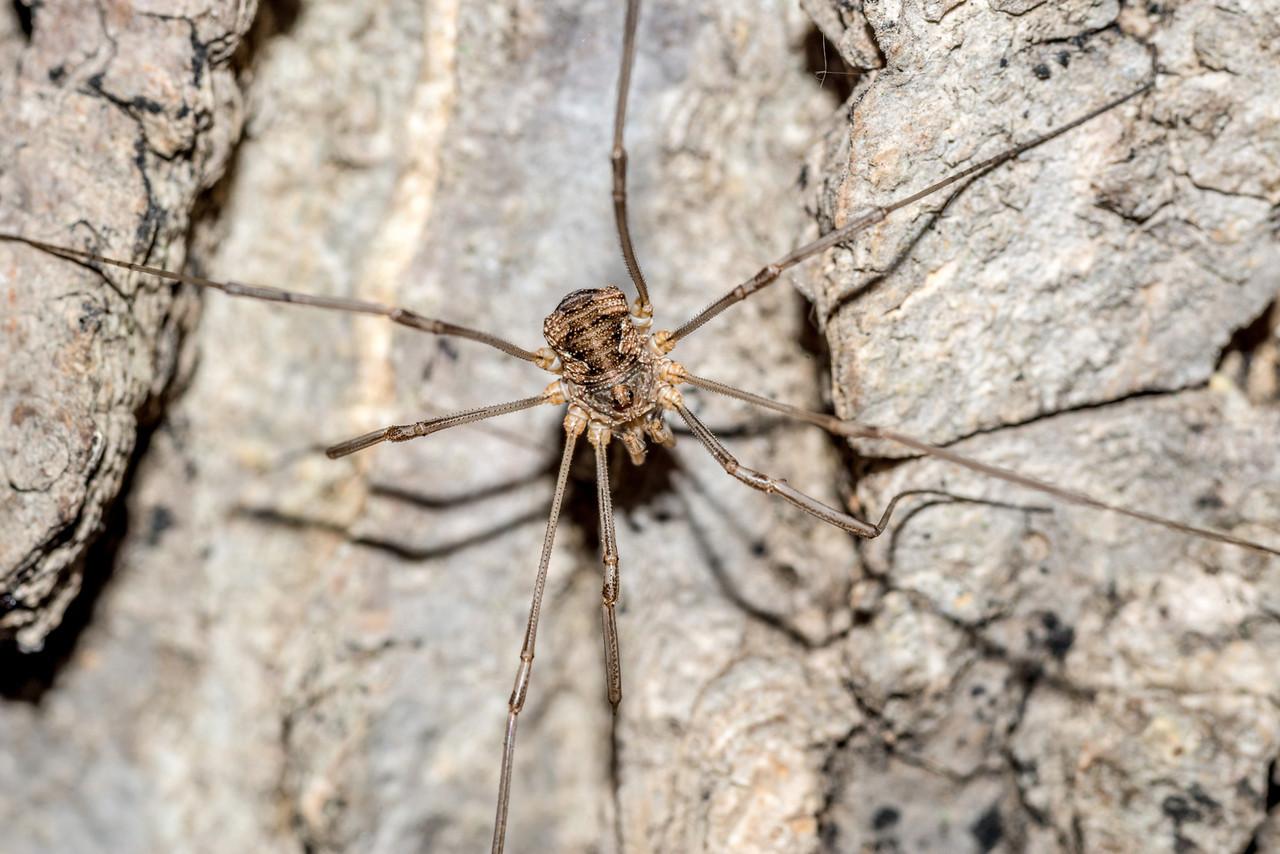 Harvestman (Odiellus pictus). St Croix Falls, WI, USA