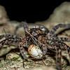 Dark fishing spider (Dolomedes tenebrosus) eating a harvestman. St Croix Falls, WI, USA.