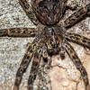 #2 Fishing spider (Dolomedes tenebrosus), is actually a tree-dwelling spider