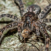 Dark fishing spider (Dolomedes tenebrosus) eating a harvestman. St Croix Falls, WI, USA.