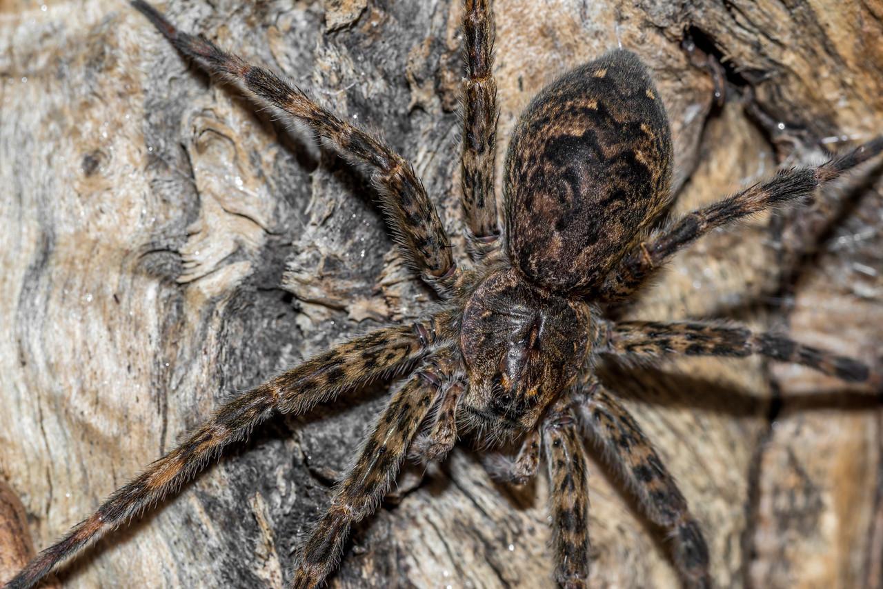 Dark fishing spider (Dolomedes tenebrosus). St Croix Falls, WI, USA.