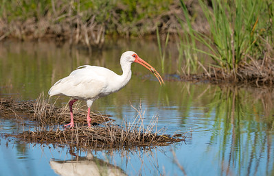 White Ibis with snack
