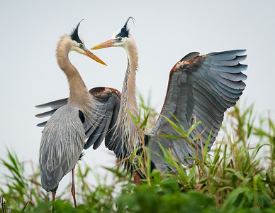Great Blue Herons, breeding plumage