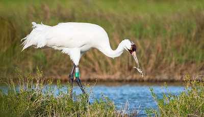 Whooping Crane with Blue Crab snack
