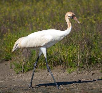 Whooping Crane, juvenile