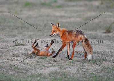 05 22 10 Fox D300070 e