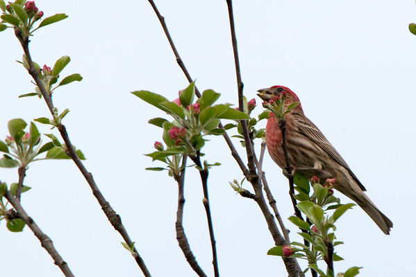 A male House Finch eating apple blossoms