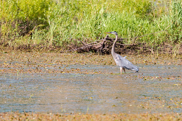 A Great Blue Heron hunts at Green Bottom WMA