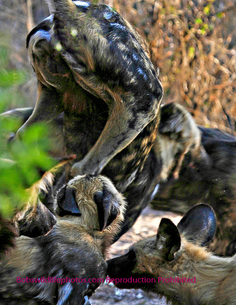 I love this photo, as it shows how playfull these animals are. They were just running and jumping all over each other. It was a sight to see.