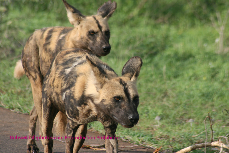 These shots of wild dogs were taken in Kruger Park South Africa. near the lower sabi rest area.