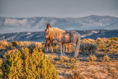 "Sand Wash Basin Stallion - ""Bobby"" at Sunset"