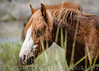 Wild Horses, north of Carson City, NV, at Washoe Lake