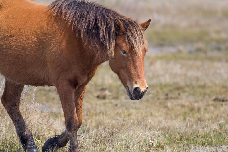 Wild Horses, Assateague Island National Seashore
