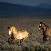 Wild Horses / Equus ferus caballus