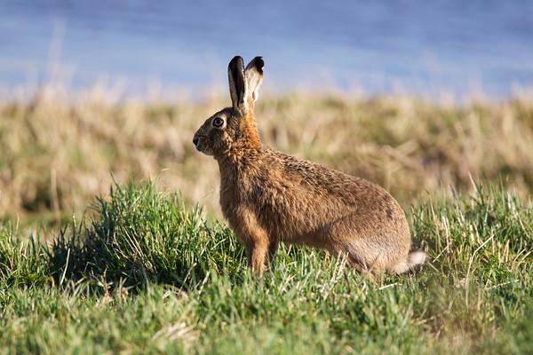 Hare, Blacktoft Sands RSPB Reserve
