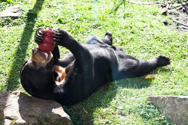 sun bear, edinburgh zoo
