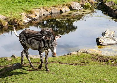 zebra, edinburgh zoo