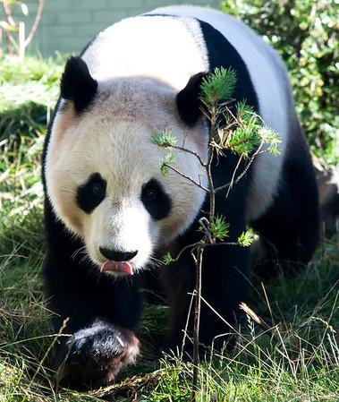 giant panda, edinburgh zoo