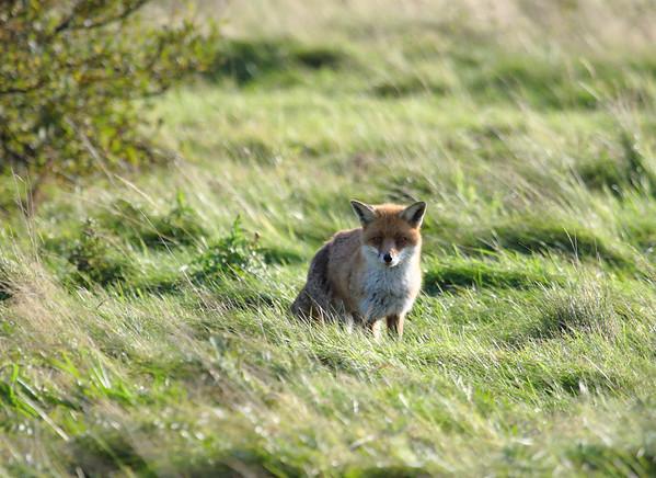 Fox, Whitley Bay