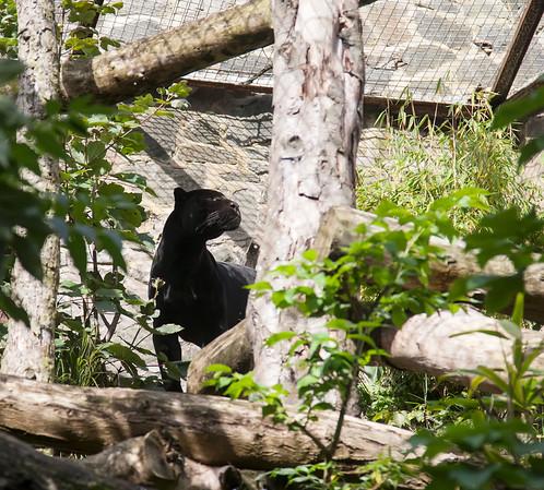 black jaguar, edinburgh zoo