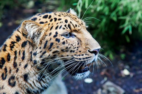 jaguar, edinburgh zoo
