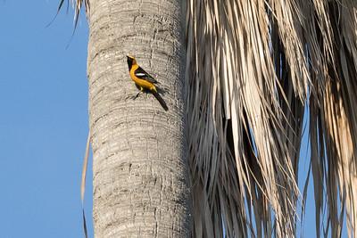 Hooded Oriole on trunk of fan palm where it is nesting.