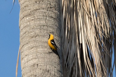 Hooded Oriole on fan palm trunk where it is nesting.